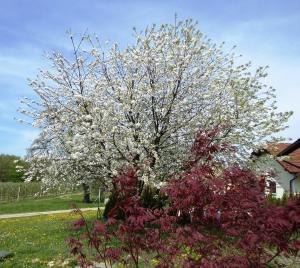 cvetoca-cesnja